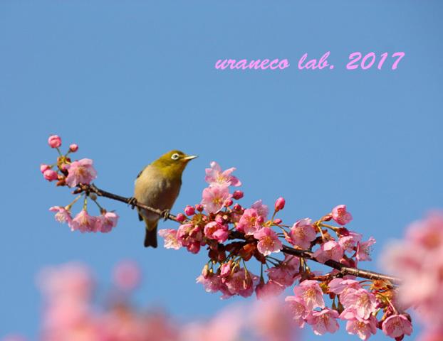 2月21日河津桜とメジロ3