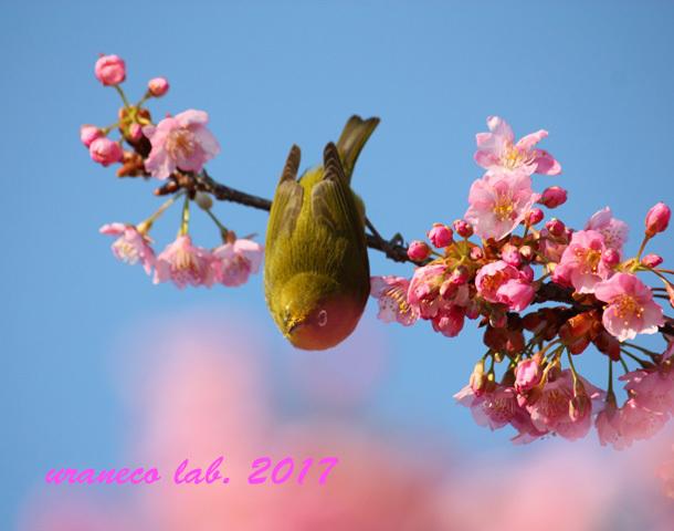 2月21日河津桜とメジロ2