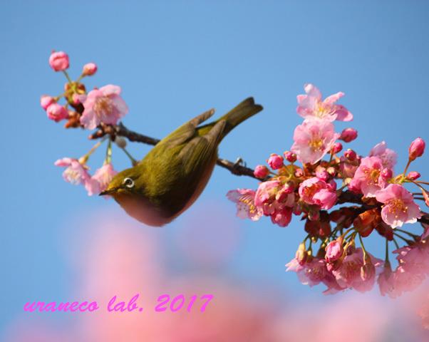 2月21日河津桜とメジロ