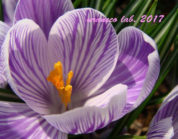 2月21日クロッカス紫