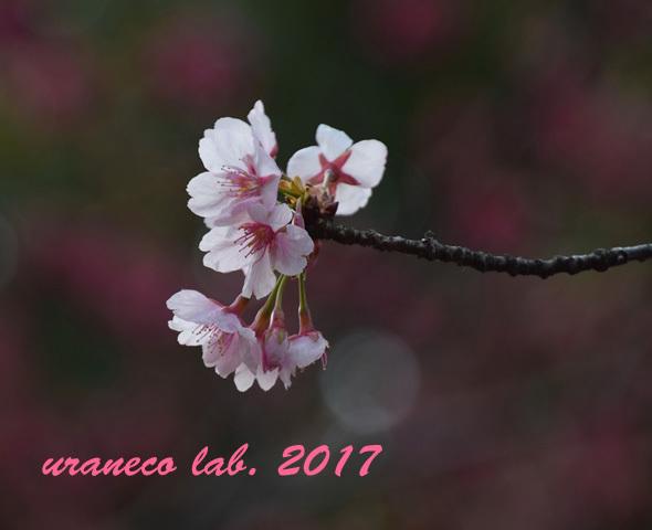 3月1日大寒桜2