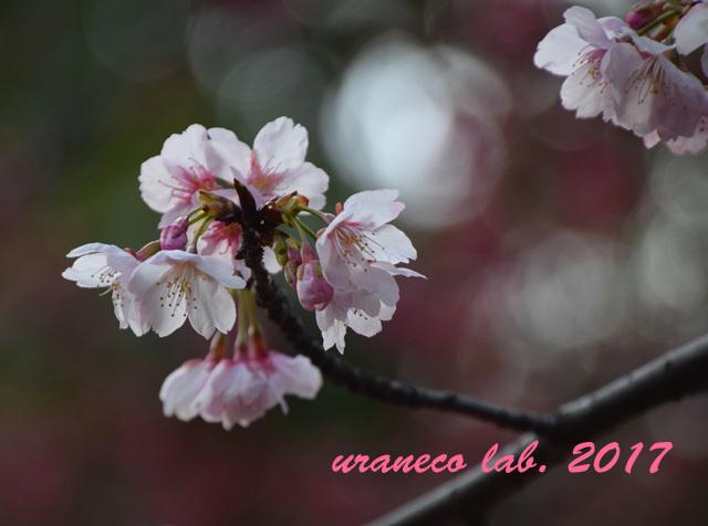 3月1日大寒桜