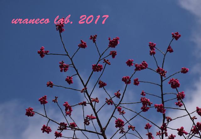 3月1日寒緋桜3