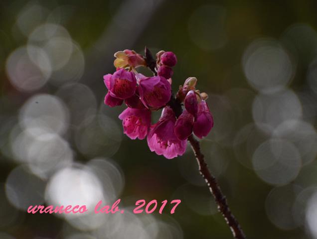 3月1日寒緋桜2