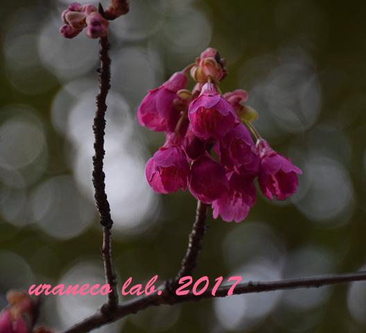 3月1日寒緋桜