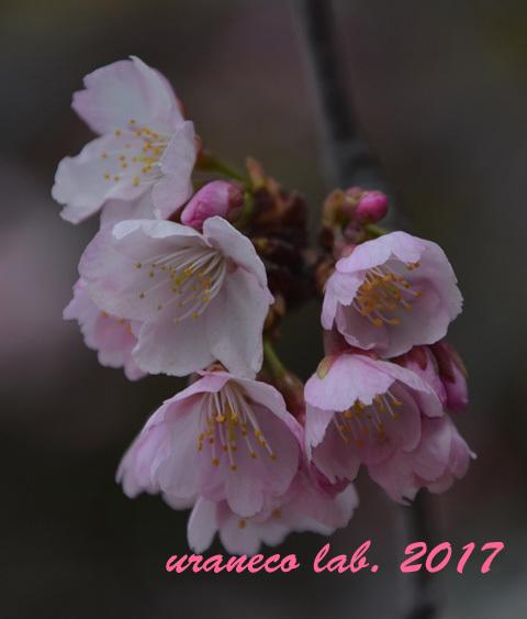3月1日大寒桜アップ