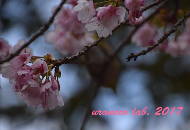 3月1日大寒桜5