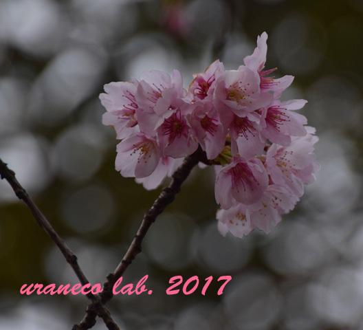 3月1日大寒桜4