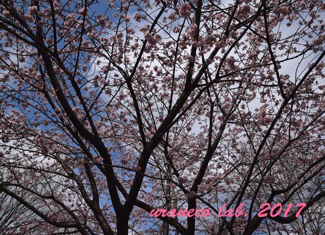 3月1日大寒桜3