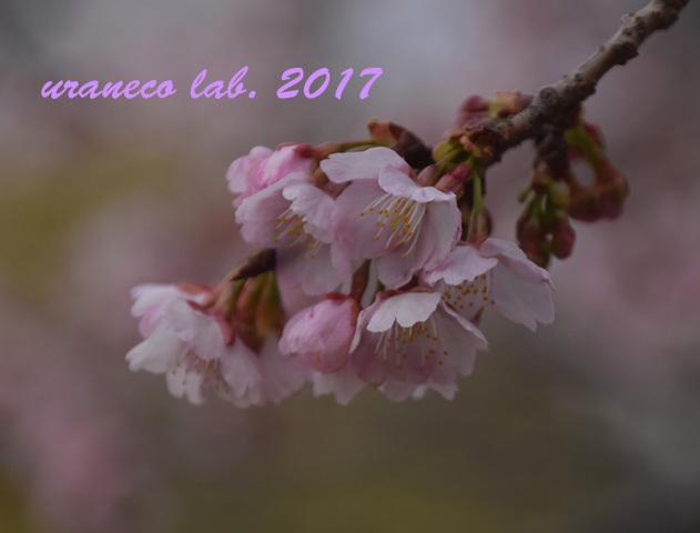 3月6日大寒桜6