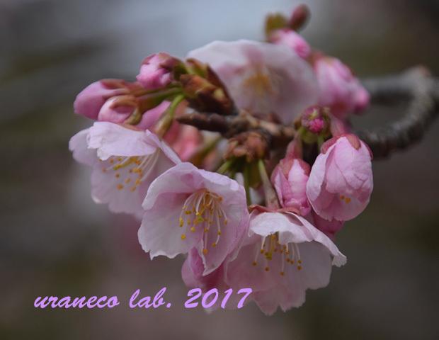 3月6日大寒桜5