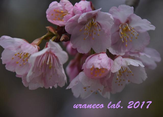 3月6日大寒桜4