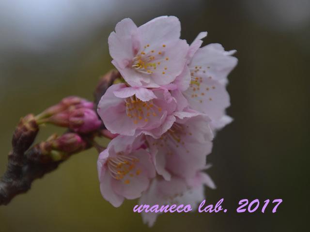 3月6日大寒桜3
