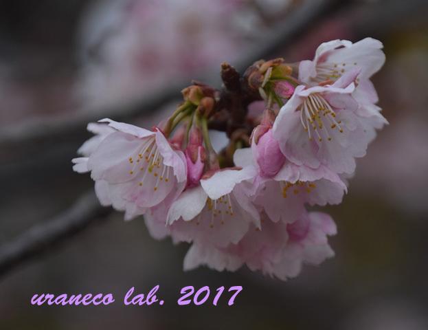 3月6日大寒桜2