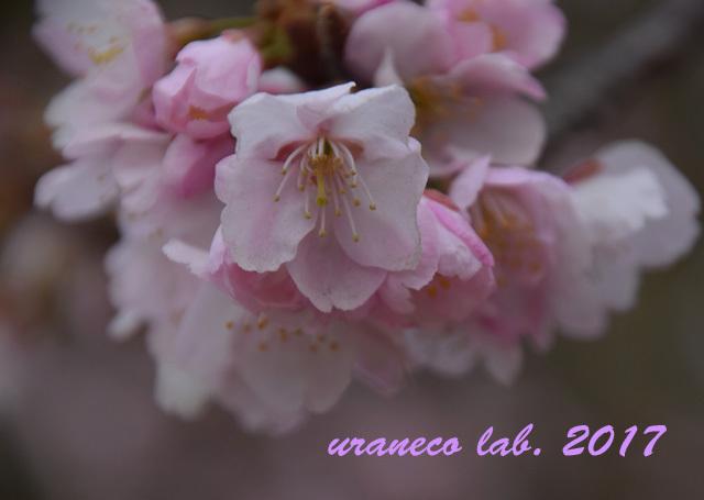 3月6日大寒桜