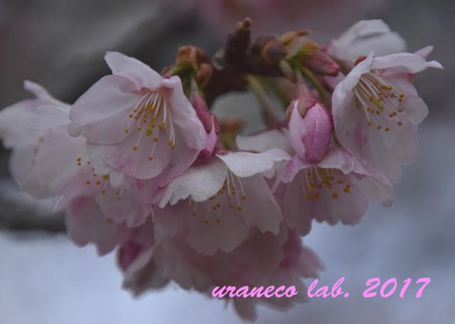 3月8日大寒桜5