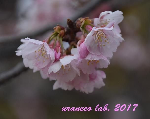 3月8日大寒桜3