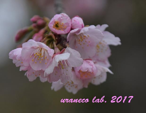 3月8日大寒桜
