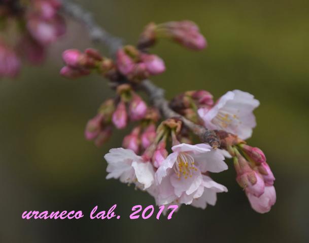 3月8日大寒桜7