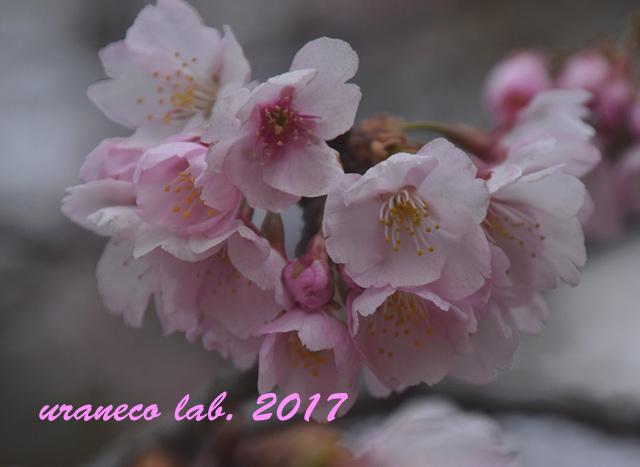 3月8日大寒桜6