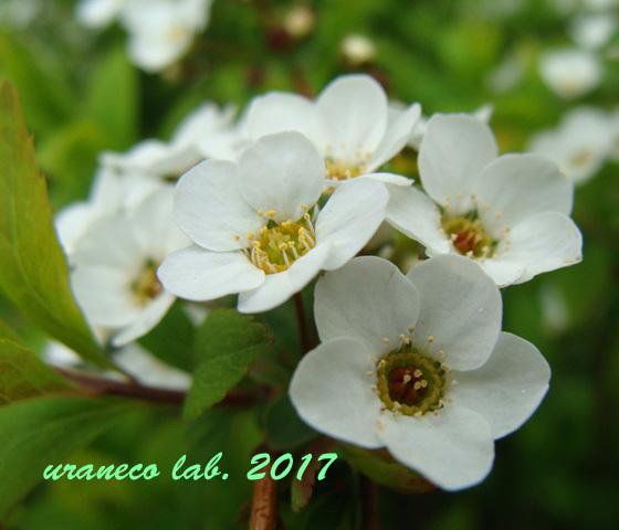 3月15日雪柳2