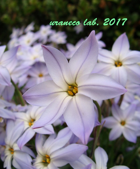 3月15日ハナニラ2