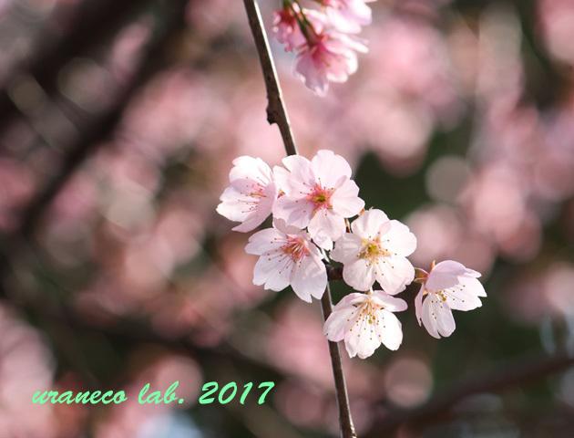 3月24日大寒桜