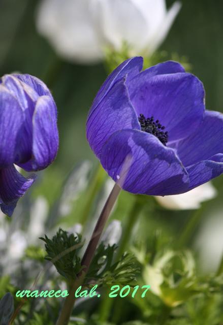 3月24日アネモネ紫