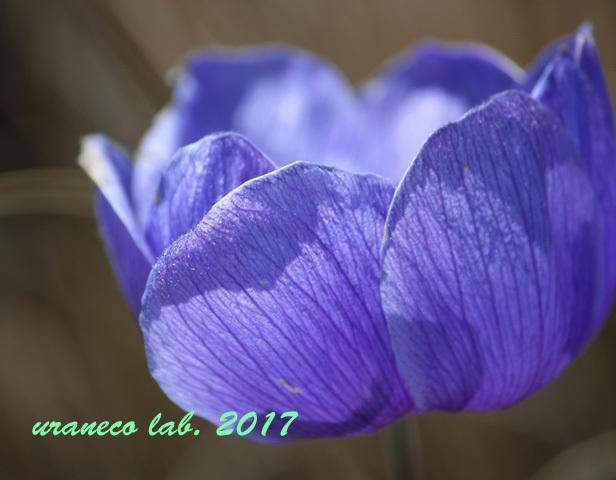 3月24日アネモネ紫2