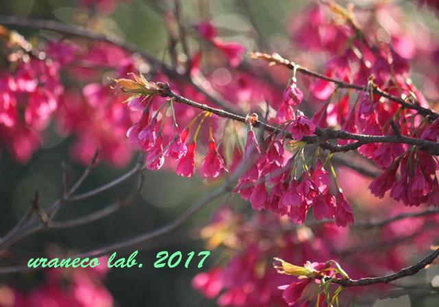 3月24日寒緋桜