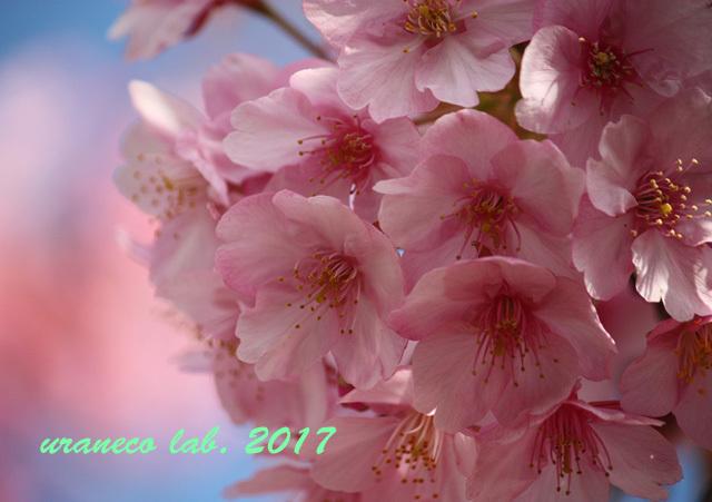 3月24日河津桜