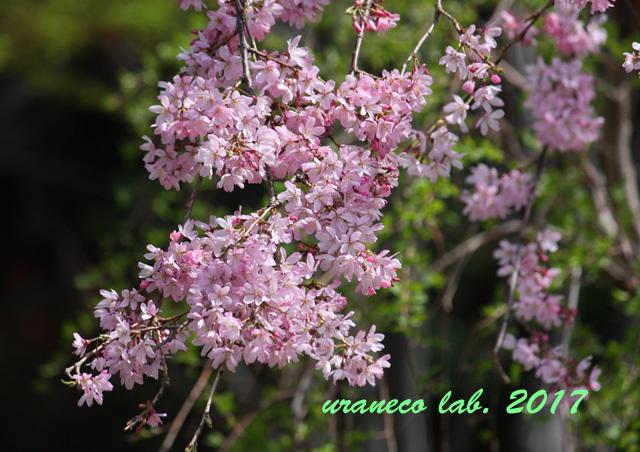 3月27日枝垂れ桜2
