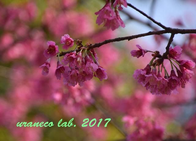 3月27日寒緋桜