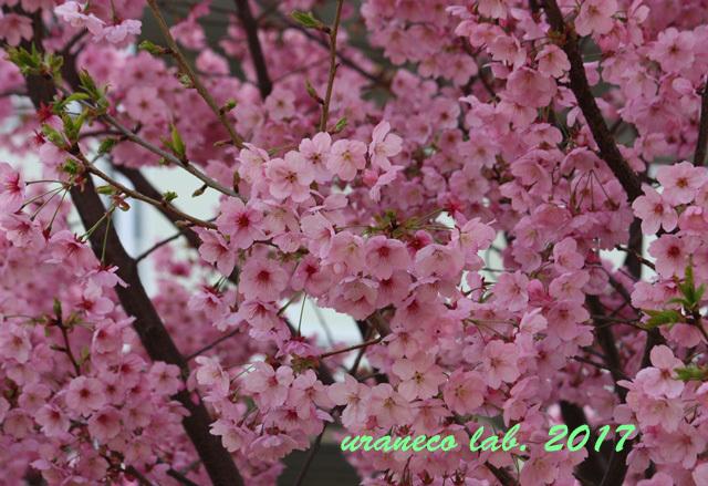 3月27日寒桜