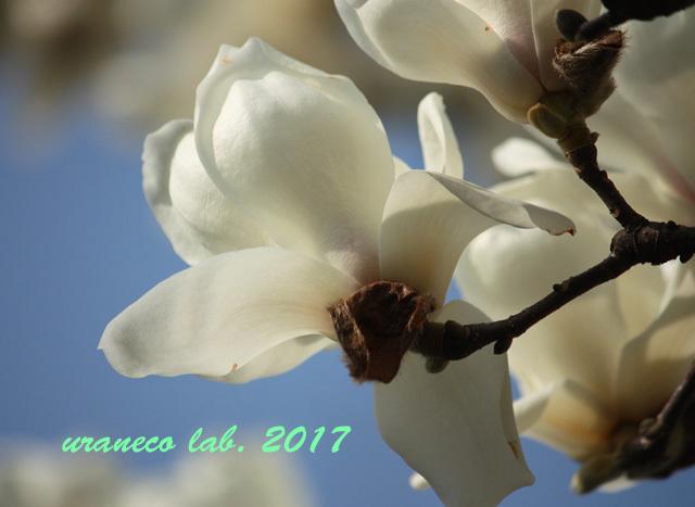 3月24日白木蓮