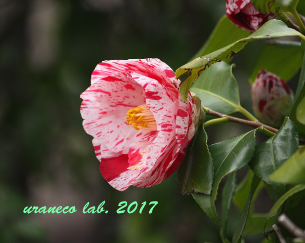 3月24日椿・絞り2