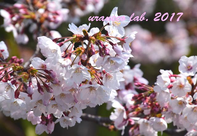 4月5日桜4