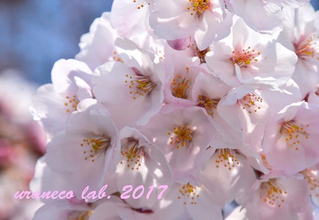 4月5日桜3