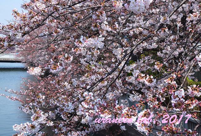 4月6日桜並木