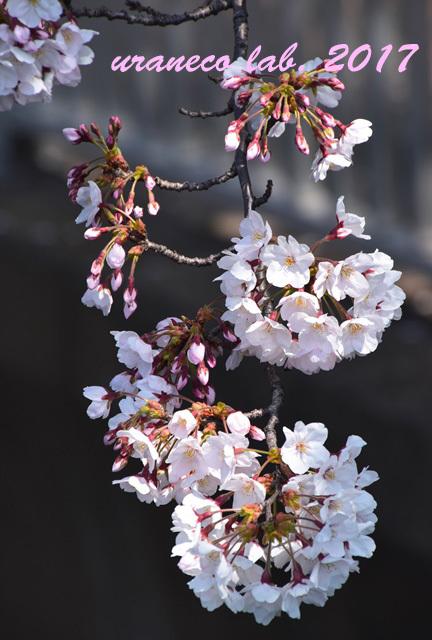 4月5日桜9
