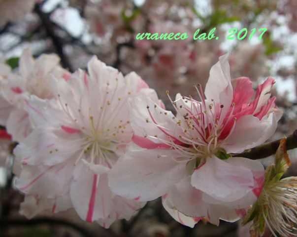 3月27日花桃