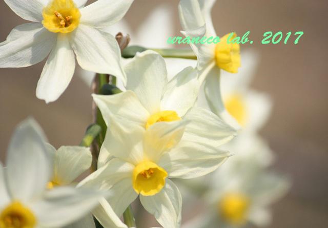 3月24日白い水仙