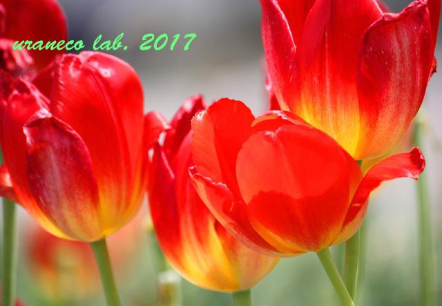 3月30日鬱金香8