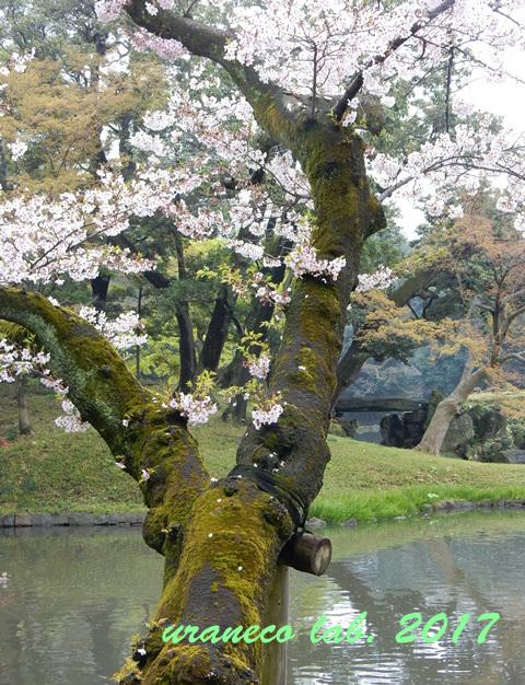 4月10日小石川後楽園4