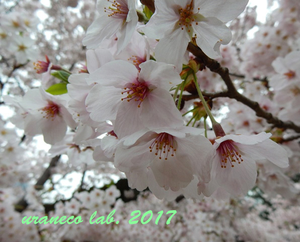 4月10日小石川後楽園3