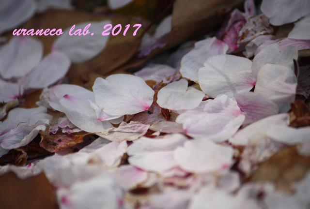 4月11日花びらの絨毯3