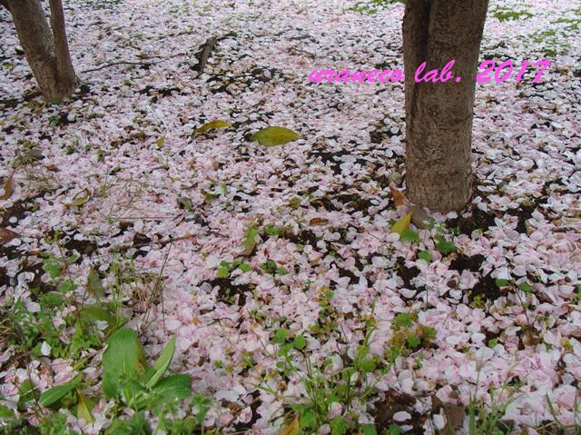 4月11日花びらの絨毯2