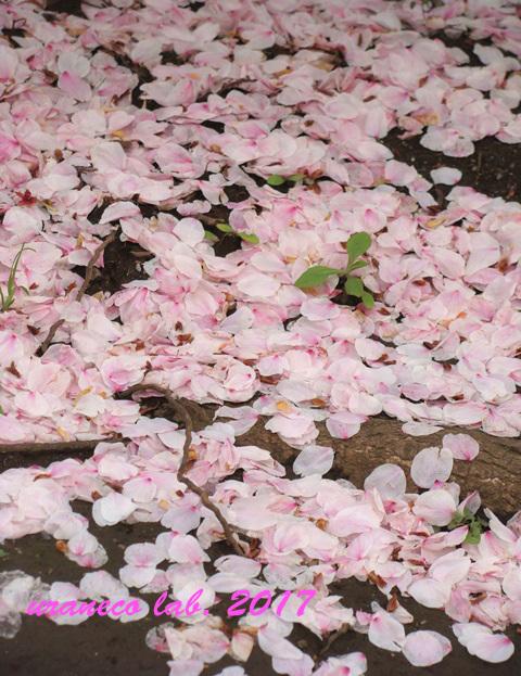 4月11日花びらの絨毯