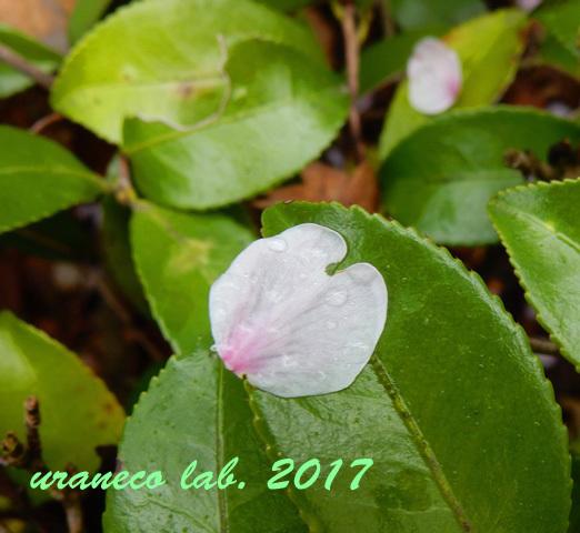 4月10日雨に濡れた花びら