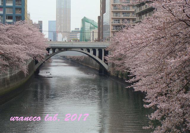 4月11日目黒川の桜